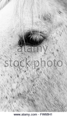 White spotted horse - isolated shot of left eye. Long white eyelashes, and pieces of it is mane drop down near its - Stock Photo