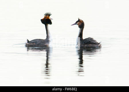 Great crested grebes performing a courtship display - Stock Photo