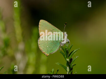 Green hairstreak, Callophrys rubi, butterfly on Thyme, Thymus vulgaris, Andalusia, Spain. - Stock Photo