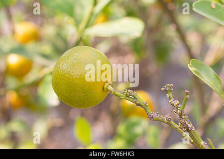 closeup Ripe oranges on the tree in sunny day - Stock Photo