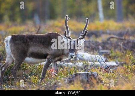 Reindeer looking in to the camera, standing in blue berry bushes in autumn season and autumn colors is seen, Gällivare, - Stock Photo