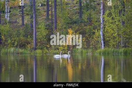 Two Whooper swans, Cygnus cygnus, swimming in a lake and the forest with autumn colored trees are reflecting in - Stock Photo