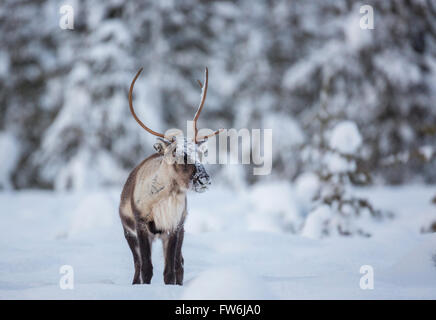 Reinderr with big antler in witner season in forest with snow on trees, looking in to the camera, Gällivare, Swedish - Stock Photo