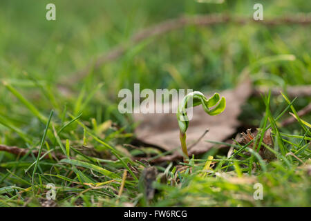 New leaves shooting up from a single maple tree sapling seed uncurling emerging in meadow at edge of wood in spring - Stock Photo