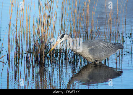 Grey Heron fishing at the Welsh Wildlife Centre, Cilgerran, West Wales - Stock Photo