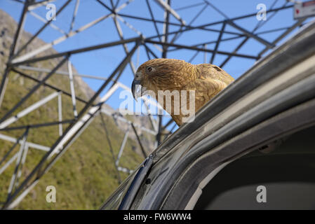 New Zealand alpine parrot, the Kea, Nestor notabilis, sitting on a car at Arthur's Pass, to the delight of tourists - Stock Photo