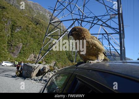 New Zealand alpine parrot, the Kea, Nestor notabilis, sitting on a car at Arthurs Pass National Park, to the delight - Stock Photo