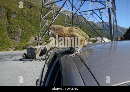 New Zealand alpine parrot, the Kea, Nestor notabilis,sitting on a car at Arthur's Pass National Park, to the delight - Stock Photo