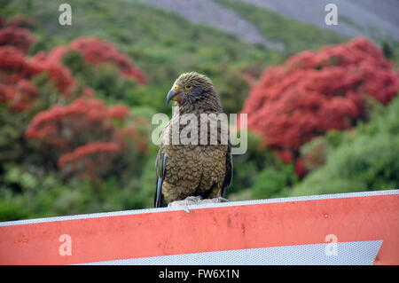 A New Zealand alpine parrot, the Kea, Nestor notabilis, resting on a give way sign at Arthur's Pass National Park - Stock Photo