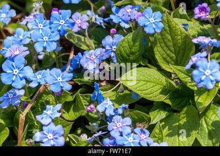 Blue eyed Mary, Omphalodes verna, Navelwort - Stock Photo