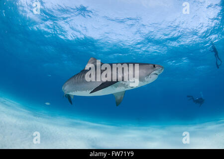 A tiger shark swimming gracefully with SCUBA divers on a eco tourism activity. - Stock Photo