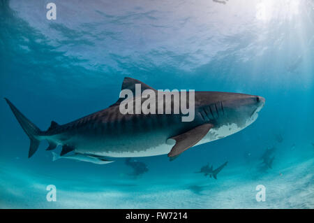 A tiger shark with beautiful markings swimming in clear water with light rays coming through the surface. - Stock Photo
