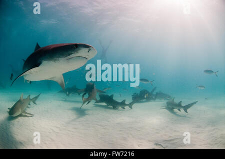 A curious tiger shark swimming by a group of divers and sharks on a baited dive. - Stock Photo