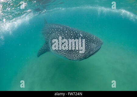 A friendly whale shark swimming towards the camera in the Indian Ocean - Stock Photo