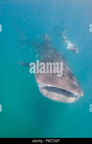 An underwater photographer pursuing a whale shark for a photography of the graceful creature. - Stock Photo