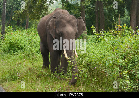 Asian or Asiatic elephant (Elephas maximus) male. , India - Stock Photo