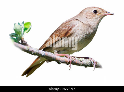 Thrush Nightingale (Luscinia luscinia). The bird perching on a branch of the tree.  Isolated On White - Stock Photo