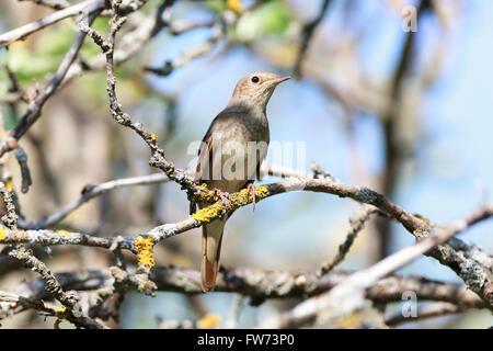 Thrush Nightingale (Luscinia luscinia). The bird perching on a branch of the tree. - Stock Photo