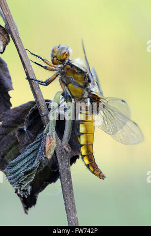 Details of Broad bodied Chaser ( Libellula depressa ), dragonfly, close up, perched at a dry plant, detailed macro - Stock Photo