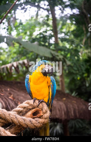 Blue-and-yellow macaw parrot, Bird Park, Foz do Iguacu, Brazil - Stock Photo