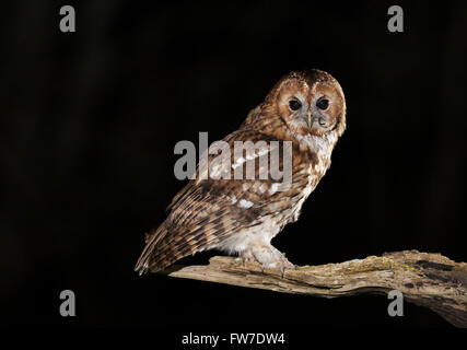 Wild Tawny Owl (Strix aluco) perched on branch having just eaten a mouse with tail still just visible - Stock Photo