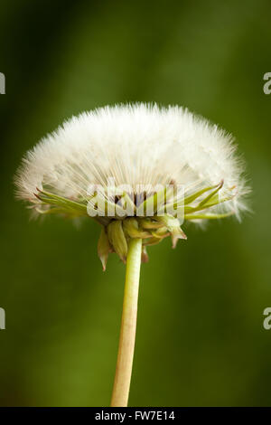 blossom dandelion clock (Taraxacum officinale) on blurred background - Stock Photo