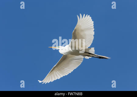Great egret (Casmerodius albus) in flight Stock Photo