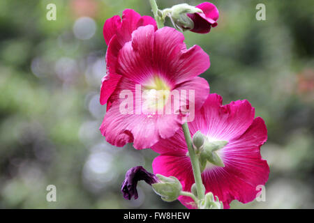 Alcea rosea, common hollyhock,  red flowered, tall ornamental herb with large lobed leaves and nearly 10 cm across - Stock Photo