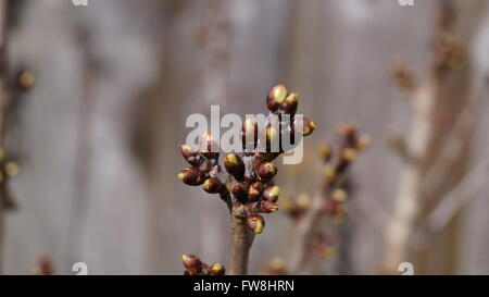 Focus on new buds on cherry tree at the start of spring - Stock Photo