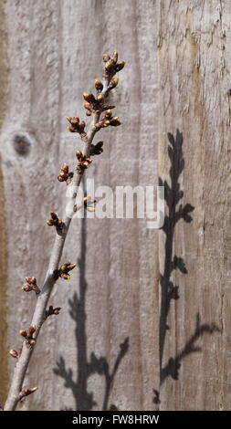 Focus on spring, new buds on cherry tree with shadow on wooden fence - Stock Photo