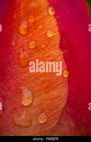Close up detail with shallow depth of field of a deeply coloured tulip bloom, showing the delicate petals curled - Stock Photo