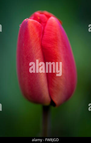 Close up detail with shallow depth of field of a deeply coloured tulip bloom, showing the delicate pertals curled - Stock Photo