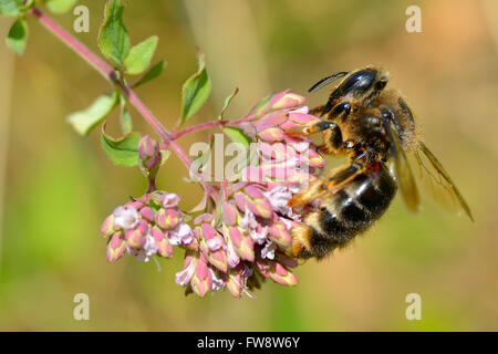 Macro of honey bee (Apis) feeding on pink flower seen from profile - Stock Photo