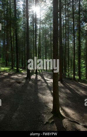 Sunlight casting shadows and shafts of light through a tightly planted fir tree forest. - Stock Photo