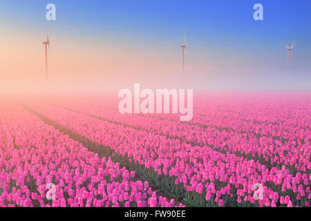 Colourful tulips in the Netherlands, photographed on a beautiful foggy morning. - Stock Photo