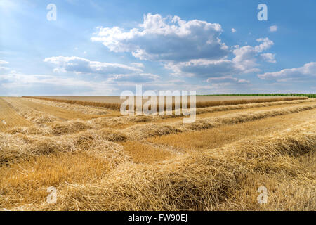 Rows of straw on a stubble field in front of the partially already harvested wheat field. Taken with a blue sky - Stock Photo