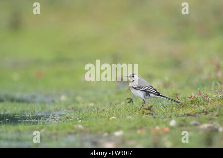 Wagtail / Bachstelze ( Motacilla alba ), young bird, immature, sitting in wetland, typical surrounding. - Stock Photo