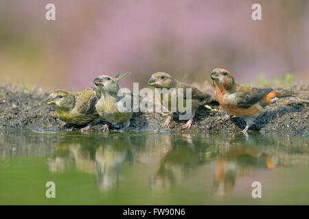 A whole family of Common Crossbills (Loxia curvirostra) / Fichtenkreuzschnaebel drinking at a pond in midst of blooming - Stock Photo