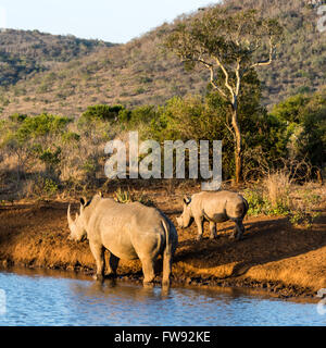 White rhinoceros female with its calf at watering hole in Phinda private game reserve, KwaZulu Natal, South Africa - Stock Photo