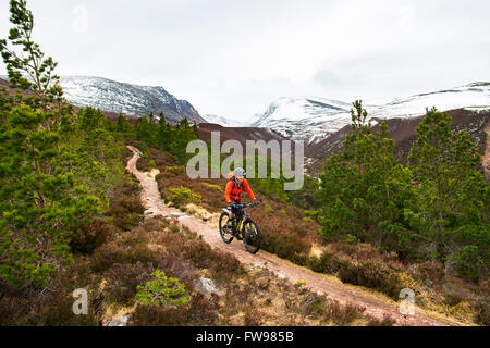 Mountain biker in Rothiemurchus Forest Cairngorms National Park Highland Scotland: the gap of the Lairig Ghru and - Stock Photo