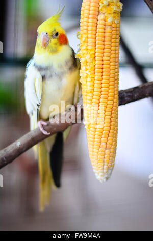 Beautiful And Cue Lovebirds. Lovebird Is One Of Nine Species Of The Genus Agapornis - Stock Photo