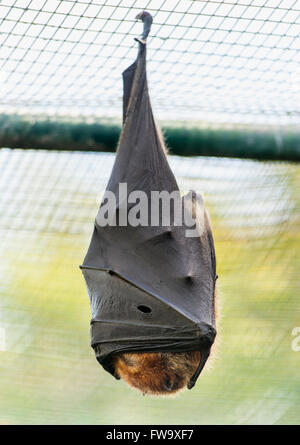 Bat roosting on the islet of Ile Aux Aigrettes in Mauritius. - Stock Photo