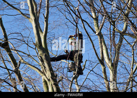 Man in a beech tree using a chainsaw - Stock Photo