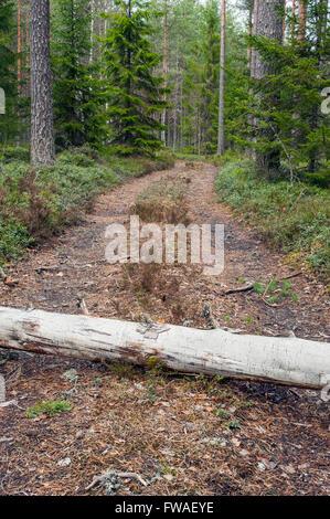 Forest road blocked by fallen tree, Sweden - Stock Photo