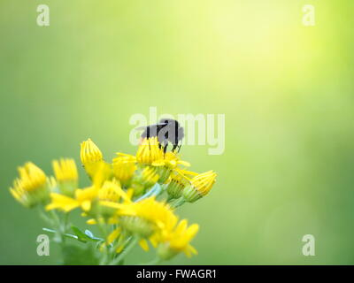Orange and black bumble bee sitting on a yellow flower - Stock Photo
