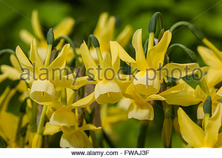 narcissus Stock Photo: 279983895 - Alamy