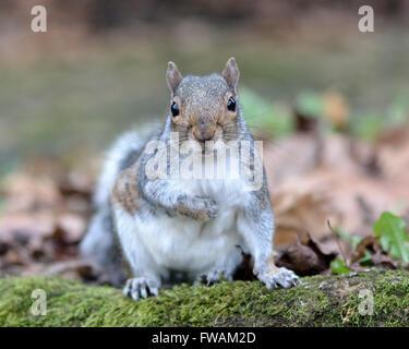 Grey squirrel (Sciurus carolinensis) facing camera. A squirrel looking forward with paw raised on woodland floor - Stock Photo