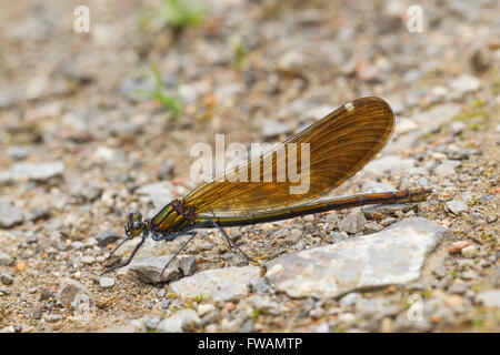 Beautiful demoiselle Calopteryx virgo, adult female, resting on ground, head on view, Bernwood Forest, Oxfordshire, - Stock Photo