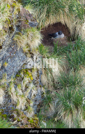 Light-mantled albatross Phoebetria palpebrata, adult, at nest site, Gold Harbour, South Georgia in January. - Stock Photo