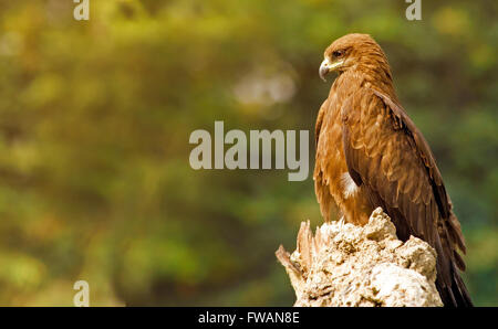 The King: Black Kite perched on tree trunk with golden light falling on front - Stock Photo